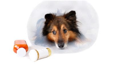 augmentin for dogs antibiotics for dogs petcarerx
