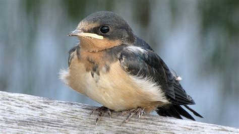 fledgling swallow feeding time youtube