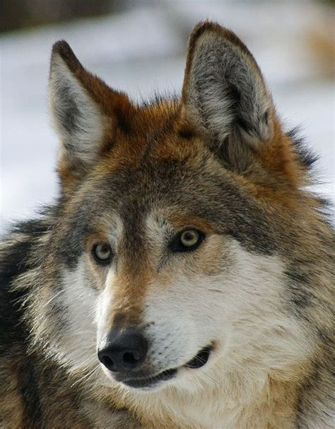 wolf moon peter owen 1101 best wolves howling at the moon images on wolf spirit wolves and gray wolf