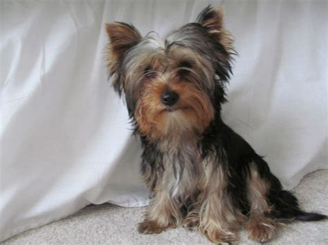 yorkie puppies for sale essex adorable terrier puppy for sale braintree essex pets4homes
