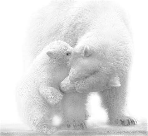 Bears White polar white snow white