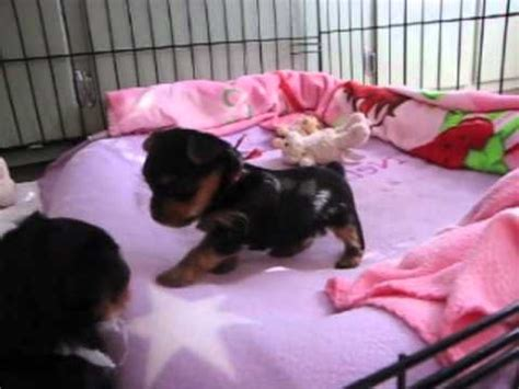 4 week yorkie puppy yorkie puppies 4 weeks