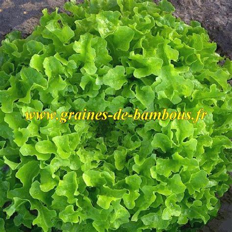 graines de laitue feuille de chene verte