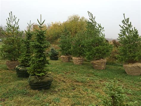 phillips tree farm photos