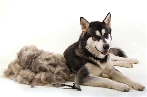 Shedding Dogs by 7 Things You Can Do To Reduce Shedding Now