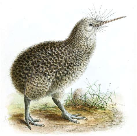 imagenes del animal weta zwergkiwi wikipedia