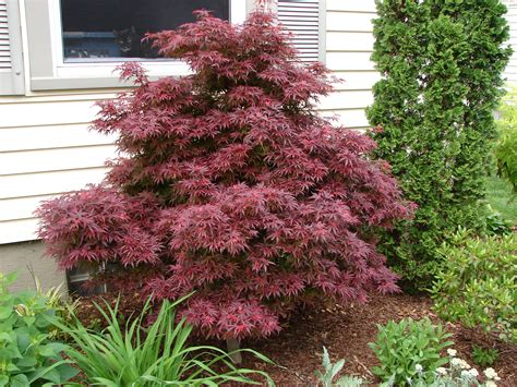 trees and shrubs for landscaping ever expanding selection of trees and shrubs from boxwood