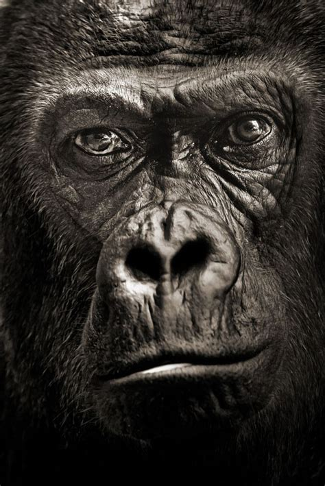 10 Amazing Portraits Of Animals by 17 Best Ideas About Silverback Gorilla On