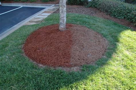 use your pine needles as mulch for the home pinterest pine mulches and pine needles