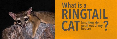 south texas ringtail cat cute cats