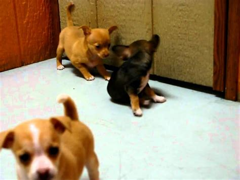 puppies for sale lancaster ca chihuahua puppies for sale in san diego california ca escondido hayward