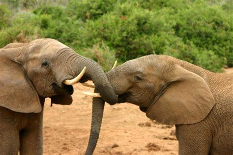African Mating Ritualsvideos | file elephants mating ritual 2 jpg wikipedia