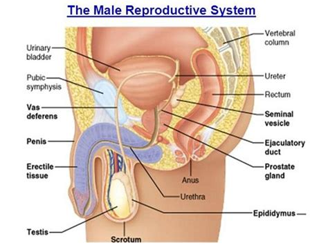 diagram of reproductive organs diagrams of reproductive system diagram site