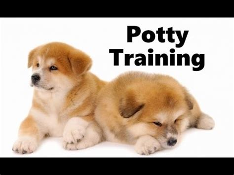 how to potty a havanese puppy