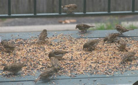 file house sparrow flock feeding on seeds jpg wikimedia