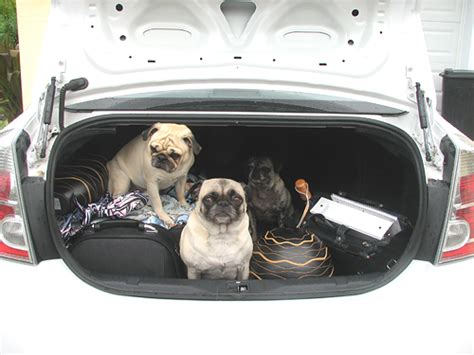 rent a pug pugs pics
