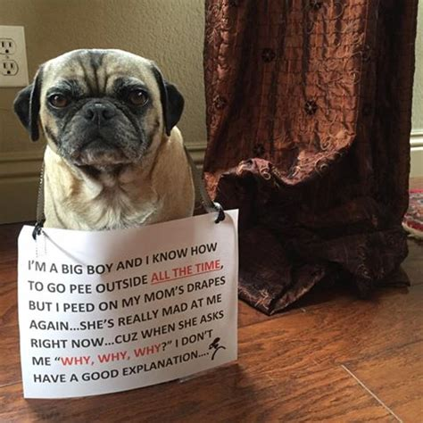 dog pees all over house pugpugpug com dog peeing in house