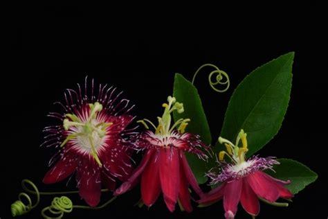 imagenes flores extraordinarias extraordinarias flores de la pasi 243 n en fondo negro 42337
