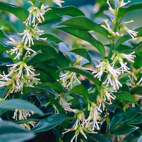 sarcococca confusa pack   fragrant plants