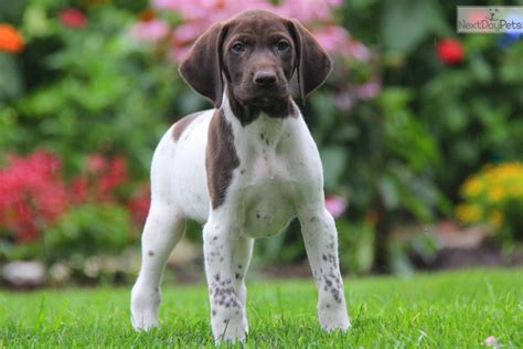 german shorthaired pointer puppies near me german shorthaired pointer puppy for sale near lancaster pennsylvania 1b041395 ded1