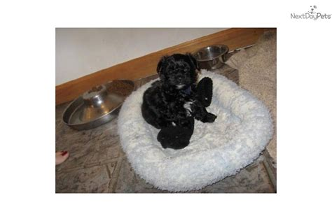 yorkie poo puppies for sale in pittsburgh pa maltipoo puppies for sale de md va breeds picture