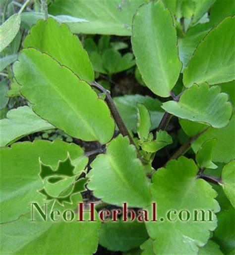 Tanaman Herbal Daun Cocor Bebek Suru Bebek Isi 10 Tunas 2 neo herbal manfaat tanaman sosor bebek kalanchoe pinnata pers untuk kesehatan