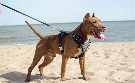 large breed harness studded design leather pitbull harness for medium large breeds