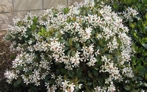 indian hawthorn shrubs richmond va cross creek nursery