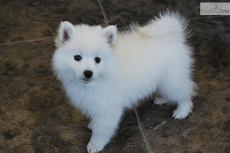 american eskimo puppy for sale mini american eskimo puppy for sale breeds picture
