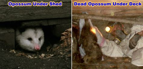 how to get rid of a possum in backyard how to keep away opossums from your yard house property