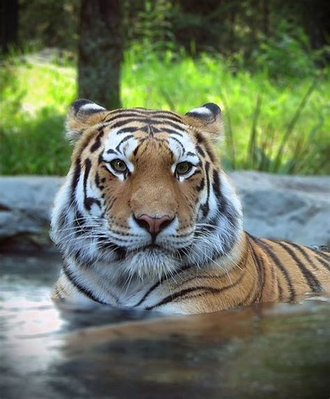 siberian tiger panthera tigris altaica animals   animals