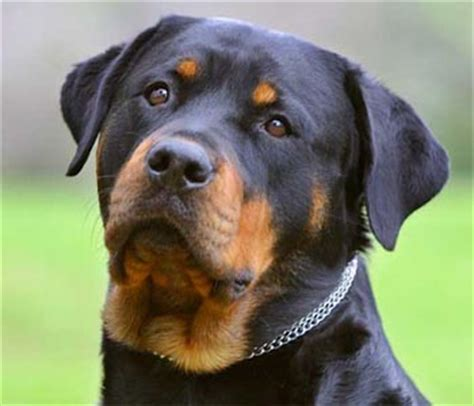 average litter size for rottweilers rottweiler animal literature