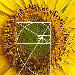 golden section in nature how to architect sunflower architecture