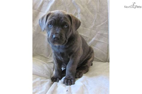 blue corso puppies pin blue brindle corso puppies on