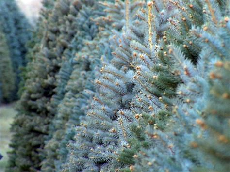rapid city officials open christmas tree drop off sites
