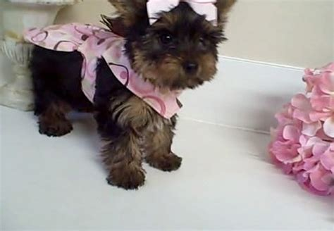 yorkie puppies for sale brisbane yorkie tea cup puppies for sale vic melbourne