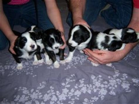 border collie puppies for sale in wisconsin border collie puppies in wisconsin