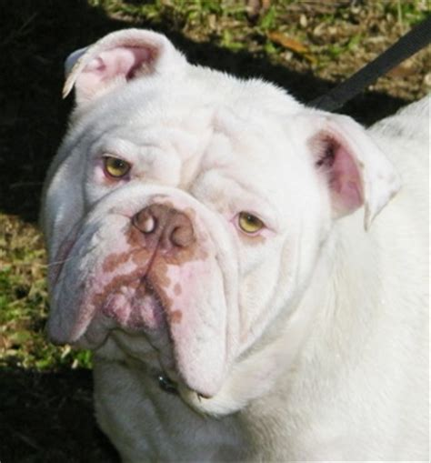 naproxen for dogs docida aussie bulldogs