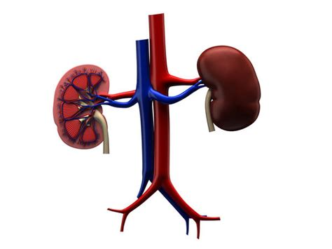 creatine bad for kidneys is whey protein bad for kidneys things you didn t