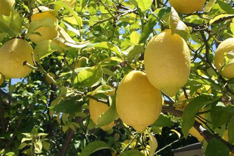 concime per limoni in vaso concime per limoni piante da frutto coltivazione limone