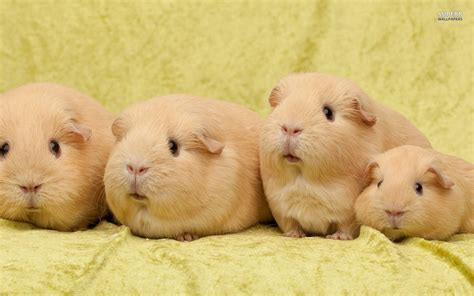 wallpaper cute pig guinea pigs wallpaper http imagesearch co 115511