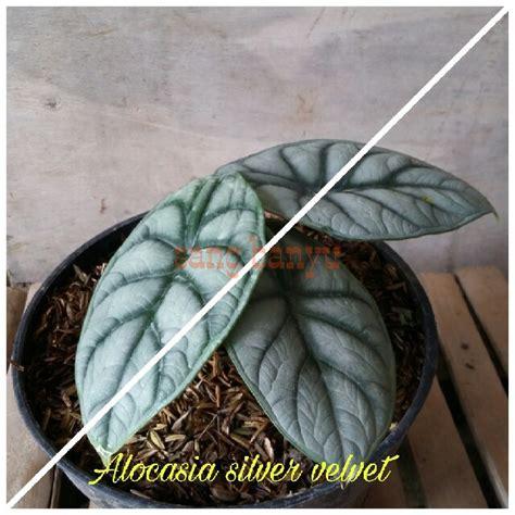 bibit tanaman hias keladi alokasia alocasia silver velvet
