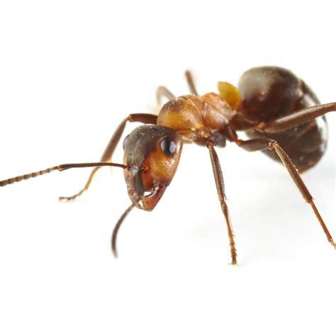 Ameisen Im Blumentopf Bek Mpfen 4202 by Was Hilft Gegen Ameisen Im Rasen Wirksames Mittel Gegen