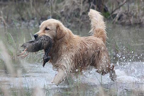 performance golden retrievers breed profile the golden retriever gun magazine
