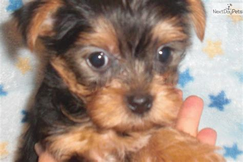 yorkie puppies indiana reggie terrier yorkie puppy for sale near