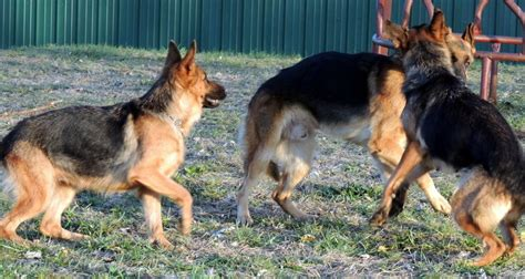 chion german shepherd puppies for sale the happy woofer about us delaware breeder puppies for sale