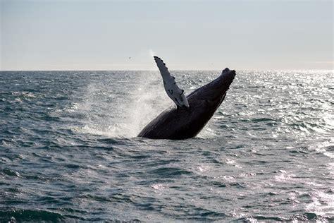 beasts of iceland the minke whale the reykjavik grapevine