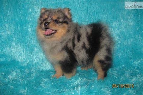 pomeranian puppies for sale in oklahoma city pomeranian puppy for sale near oklahoma city oklahoma cbc3ff4e bb71