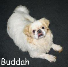 new jersey pug rescue pug mix on pugs shih tzu and chugs