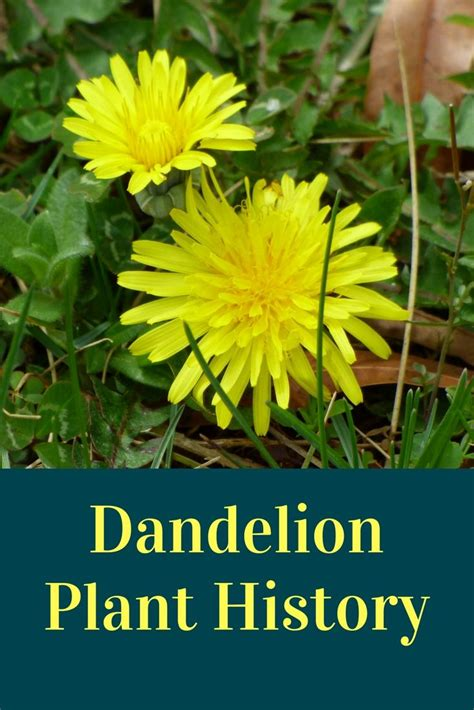 dandelion facts best 25 dandelion plant ideas on pinterest pretty girl